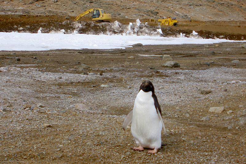 施工現場に近づいてきたアデリーペンギン